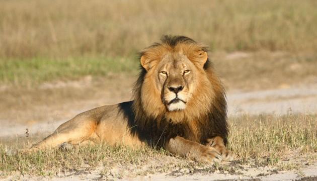 Le lion Cecil a été tué par Walter Palmer, un dentiste américain (A.LOVERIDGE/AP/SIPA)